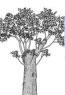 natürlicher Ersatzkronenbaum
