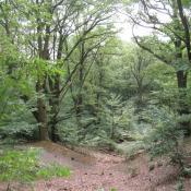 Buchenwälder mit Urwald-Charakter im Glienicker Park - Konfliktpotential bei der Wiederherstellung historischer Sichten (© A. von Lührte)
