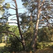 Alte Wald-Kiefer © N. A. Klöhn