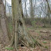 Ulme im Schlosspark Buch - wertvoller Biotopbaum.  © N. A. Klöhn