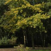 Mittelalte Stieleiche im Berliner Tiergarten. N.A. Klöhn