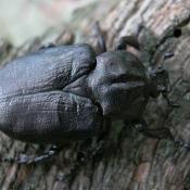 Eremit - streng geschützter Holzkäfer, dessen Larven sich im Mulm von Baumhöhlen entwickeln. © N. A. Klöhn