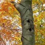 Spechthöhlen sind wichtige Quartiere für Fledermäuse. © A. von Lührte