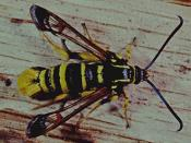 Wespenglasflügler (Synanthedon vespiformis). © G. C. Möller