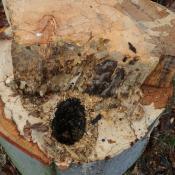 Nach einer leider erforderlichen weiteren Kappung ist das Ausmaß der Holzzersetzung erkennbar: Der Zunderschwamm hat sich z.T. bis zur Baumoberfäche ausgedehnt. Neben einem Spechtloch sind Fraßspuren von Balkenschröter-Larven und Abschottungszonen weiterer Pilzarten erkennbar. © N. A. Klöhn