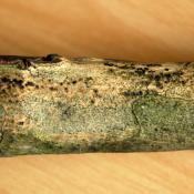 Massaria (Splanchnonema platani) - Buchenastbruch durch Moderfäule. © N. A. Klöhn