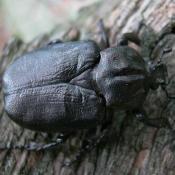 Eremit, Juchtenkäfer (Osmoderma eremita). © N. A. Klöhn