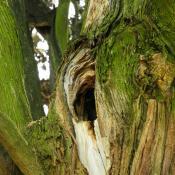 Baumhöhle - wichtiger Lebensraum für zahlreiche Tierarten, aber zugleich auch mögliches Risiko bei der Verkehrssicherung. © N. A. Klöhn