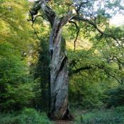Stauchungen, (Dreh-)Risse, Wülste, Beulen - an solchen Bäumen gibt es eine Vielzahl von Lebensräumen unterschiedlichster Ausprägung. © N. A. Klöhn
