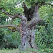 Viele Baumvetranen sind beeindruckende Gestalten, die wertvollte Lebensräume darstellen und Gartenanlagen in besonderer Weise prägen können. © N. A. Klöhn