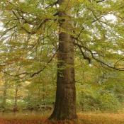 Vitale Altbuche  - idealer Biotopbaum-Anwärter, da die Vielzahl der tief ansetzenden Starkäste Astlöcher  hinterlassen wird, die dann verpilzen und verstärkt durch Spechthöhlen zur Bildung von Großhöhlen führen kann.  © G. C. Möller