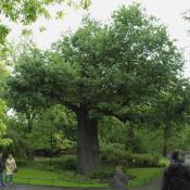Die vermutlich älteste Eiche im Berliner Zoo bildet nach einem Stammbruch eine Ersatzkrone. Wer hätte sich getraut einen Gefahrenbaum in dieser Weise einzukürzen? © N. A. Klöhn