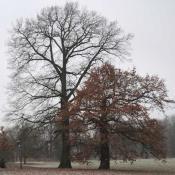 Eichen-Duo im Schlossgarten Charlottenburg, rechts bildetet sich nach einem Stammbruch eine Ersatzkrone. Der von Rosenkäfern besiedelte Stamm steht weiterhin als Lebensraum zur Verfügung. © N. A. Klöhn