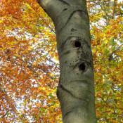 Große Schwarzspechthöhle, auch für andere Arten, wie z. B. Eulenvögel oder Säuger geeignet © A. von Lührte
