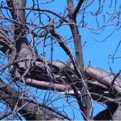Windbruchstruktur an einem starken Kronenast (Rosskastanie). Ausgeprägte Reiterbildung, Überwallungsaktivität und Einpilzung des offen liegenden Holzes. © N. A. Klöhn