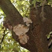 Der saprophytische Holzpilz Trametes versicolor (Schmetterlingstramete) hat abgestorbene Teile eines geschwächten Stämmlings einer Esche besiedelt und leitet den Bruch sowie die Großhöhlenbildung ein. © N. A. Klöhn