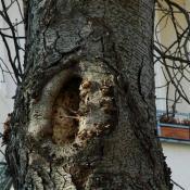 Einfaulende Schnittstellen in eher schlechter abschottender Rosskastanie - die lokalen Zonenn mit Holzzersetzung können sich u.U. zu einer Großhöhle entwickeln. © N. A. Klöhn