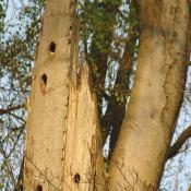 Sehr ausgeprägtes Beispiel eines Teilkronenbruches mit umfangreicher Totholzbildung bzw. großflächigen Eintrittspforten für Pilze. Bei Rotbuche siedelt sich an solchen hoch am Baum gelegenen Strukturen oft die Striegelige Tramete (Trametes hirsuta) an. © N. A. Klöhn