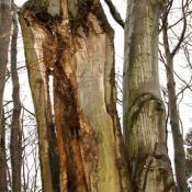 Vollzogener sehr ausgedehnter Zwieselabriss mit einer typisch ausgeprägten, großflächigen Freilegung des Holzkörpers - hier schon mit fortgeschrittner Fäule. Am oberen Punkt des Bruches ist die beidseitig ausgeprägte Bildung ohren- bzw. flügelförmiger Strukturen deutlich zu erkennen. © N. A. Klöhn
