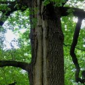 Diese Alteiche versucht, die schon ältere Blitzrinne, eine statische Schwachstelle für den Baum, durch Überwallung zu kompensieren. Es hat sich jedoch zumindest eine dezentrale Holzzersetzung auf ganzer Länge etabliert. © N. A. Klöhn