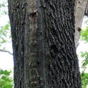 """Die rippenförmige Kallusbildung weist auf einen radialen Riss, den der Baum zu """"reparieren"""" trachtet. © N. A. Klöhn"""