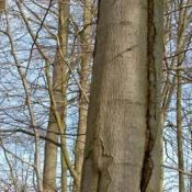 Der offensichtlich weiterlaufende Riss weist bereits ältere, möglicherweise stärker zersetzte Strukturen und /oder eine Spalte auf, während sich weiter oben frische Verletzungsstrukturen befinden. © N. A. Klöhn