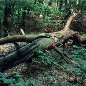 Besonderheit dieser liegenden Kiefer: die starken Kronenäste lassen den Stamm im mittleren Teil nicht aufliegen, sodass kleinräumig sehr differenzierte Habitatstrukturen entstehen. Dies erlaubt einer größeren Artenvielfalt eine Besiedlung. © G. C. Möller