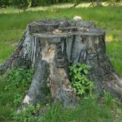 Voll besonnte stehender Buchen-Reststubben am Beginn der Abbausukzession. Gerade Buchen-Stubben zeigen eine hohe Vielfalt an Holzpilzarten und können Lebensraum für zahlreiche Holzinsektenarten sein. © G. Möller
