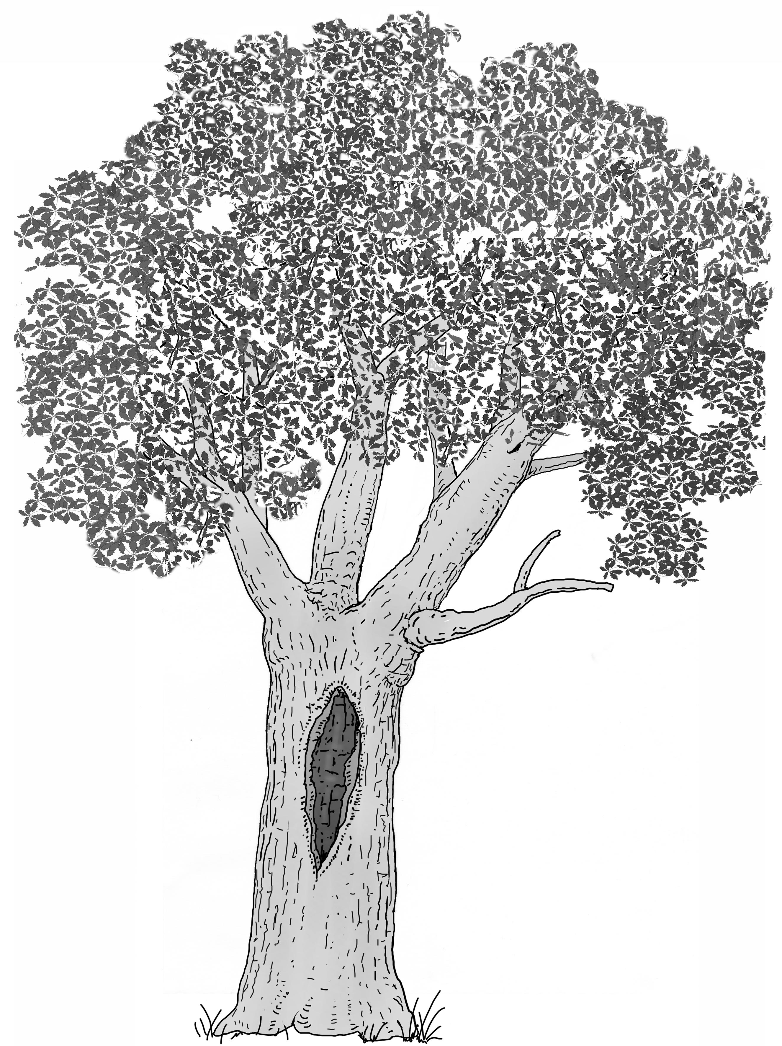 Ausgedehnte Holzzersetzung im Stamm. Zeichnung W. Roloff