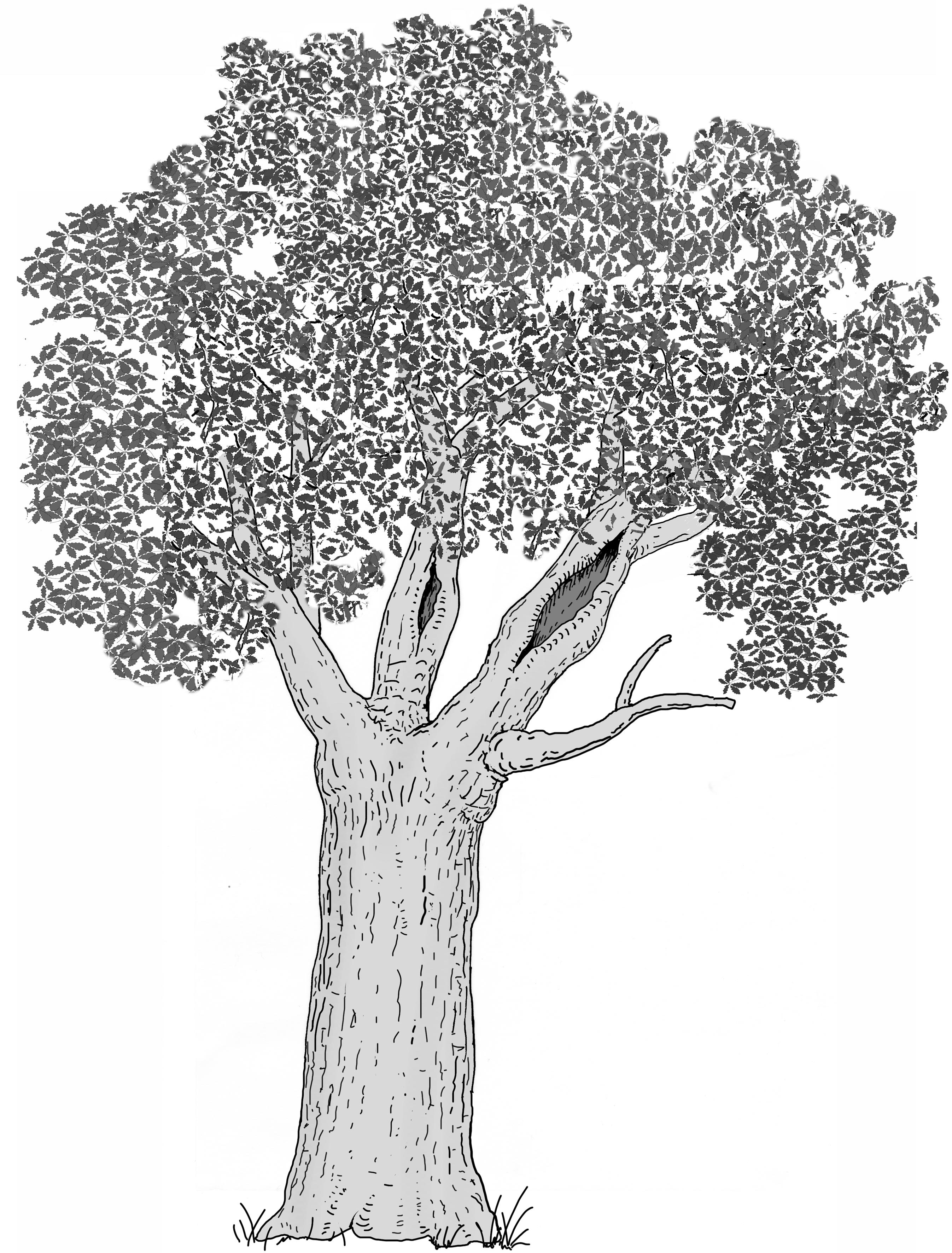 Ausgedehnte Holzzersetzung in der Krone (Starkast/Stämmling). Zeichnung W. Roloff