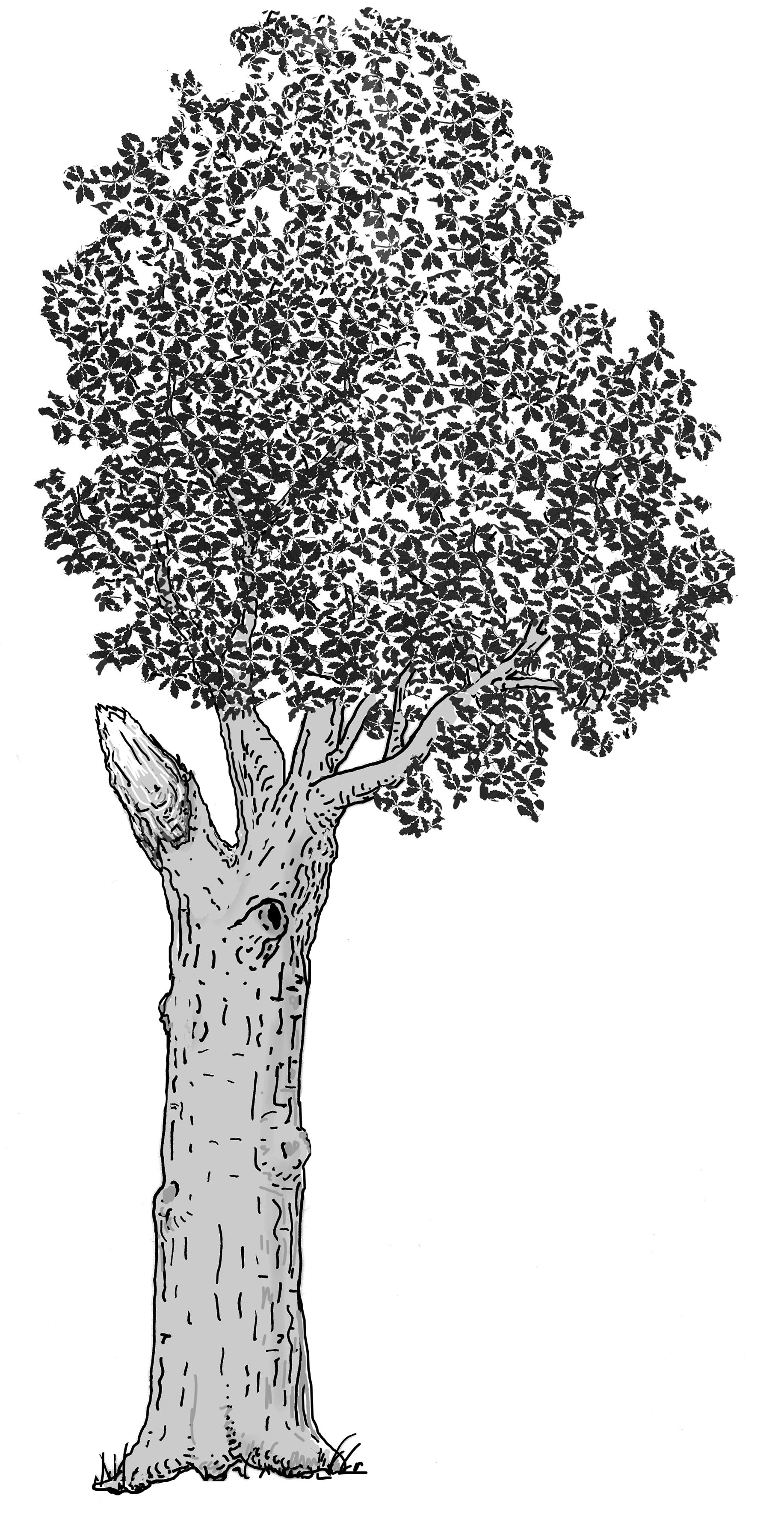 Teilkronenausbruch. Zeichnung W. Roloff