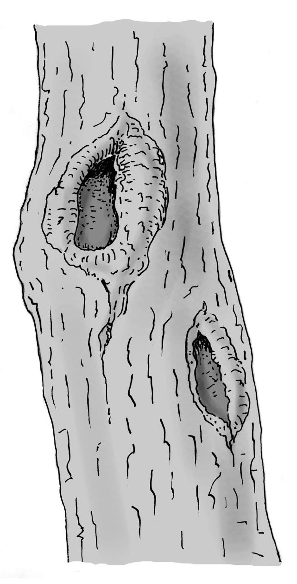 Lokale Holzzersetzung im Stamm oder in Ästen. Zeichnung W. Roloff
