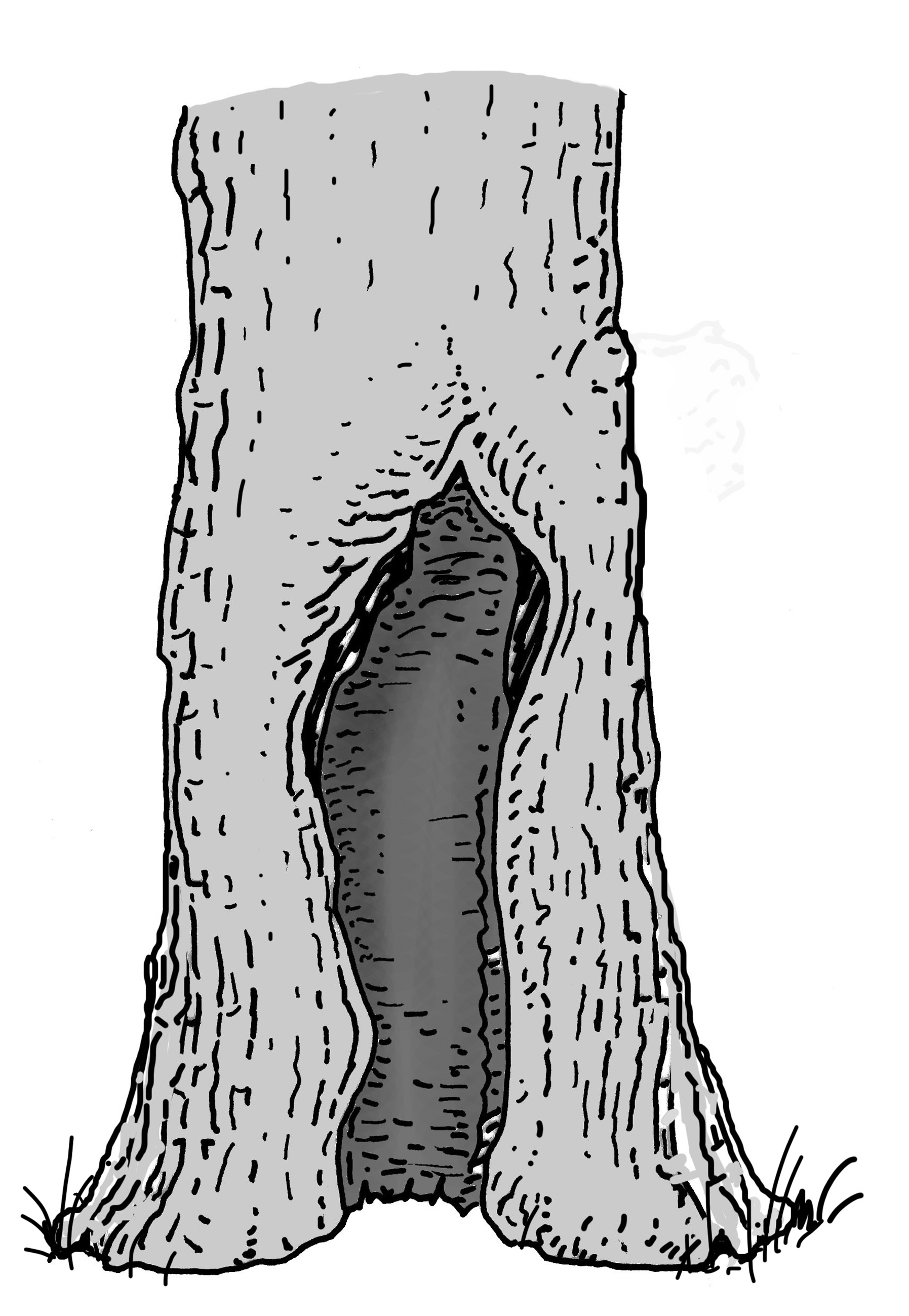 Offene Großhöhle Stammbasis. Zeichnung W. Roloff