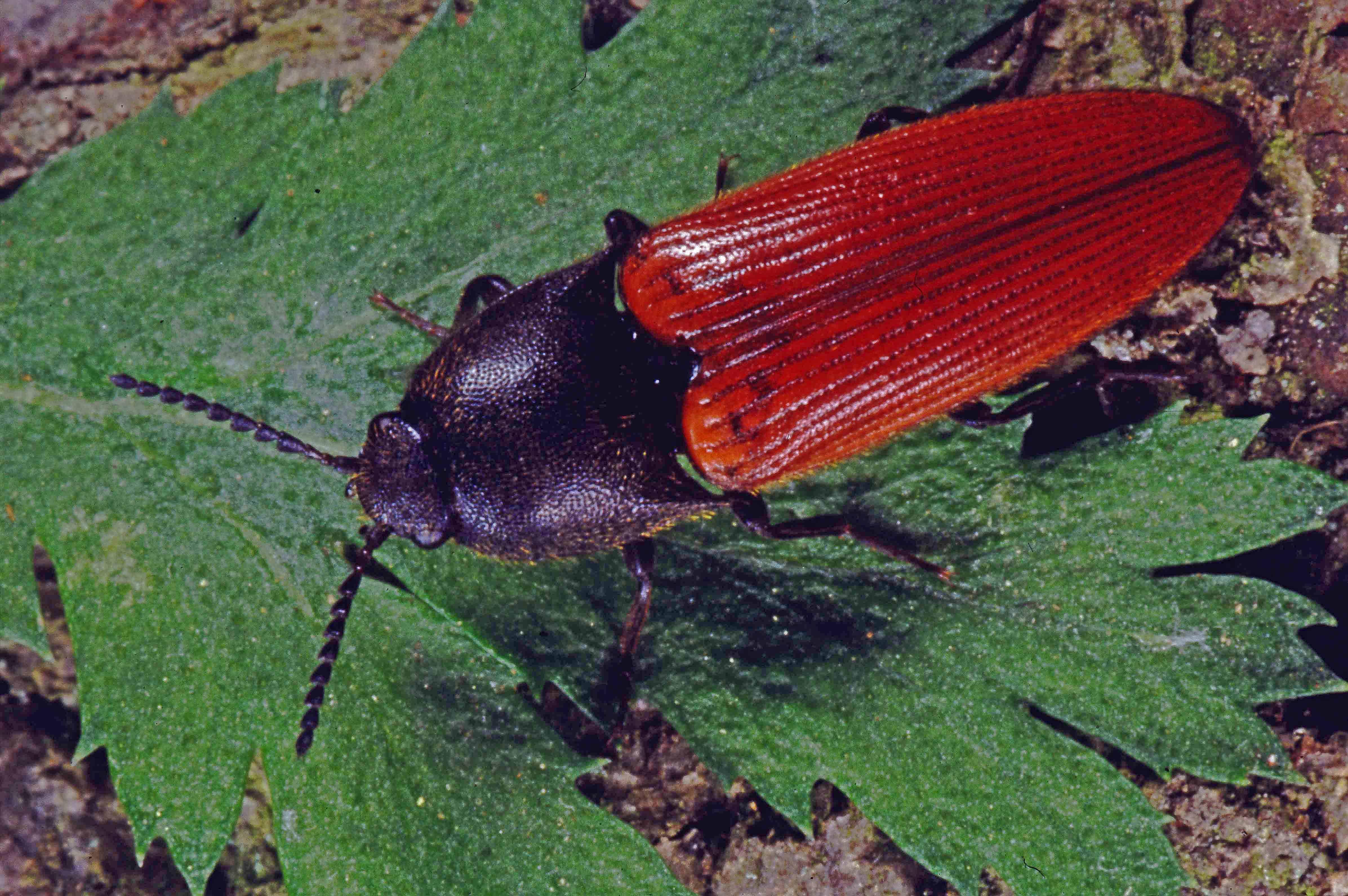 Zinnoberroter Schnellkäfer (Ampedus cinnabarinus). © G. C. Möller