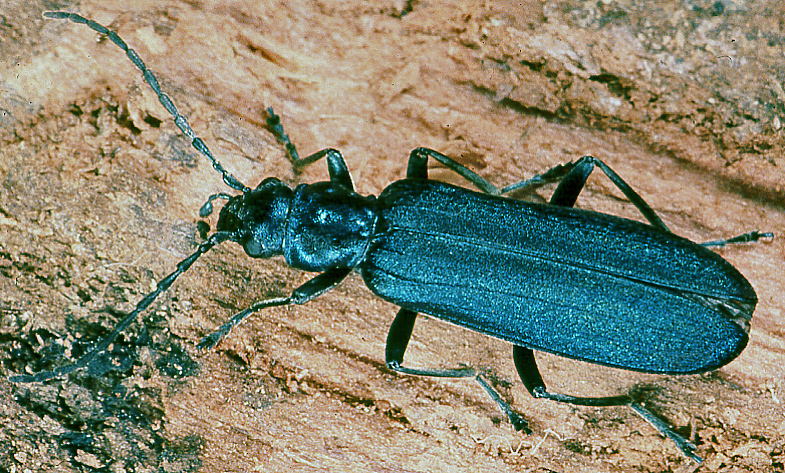 Blauer Scheinbockkäfer (Ischnomera caerulea). © G. C. Möller
