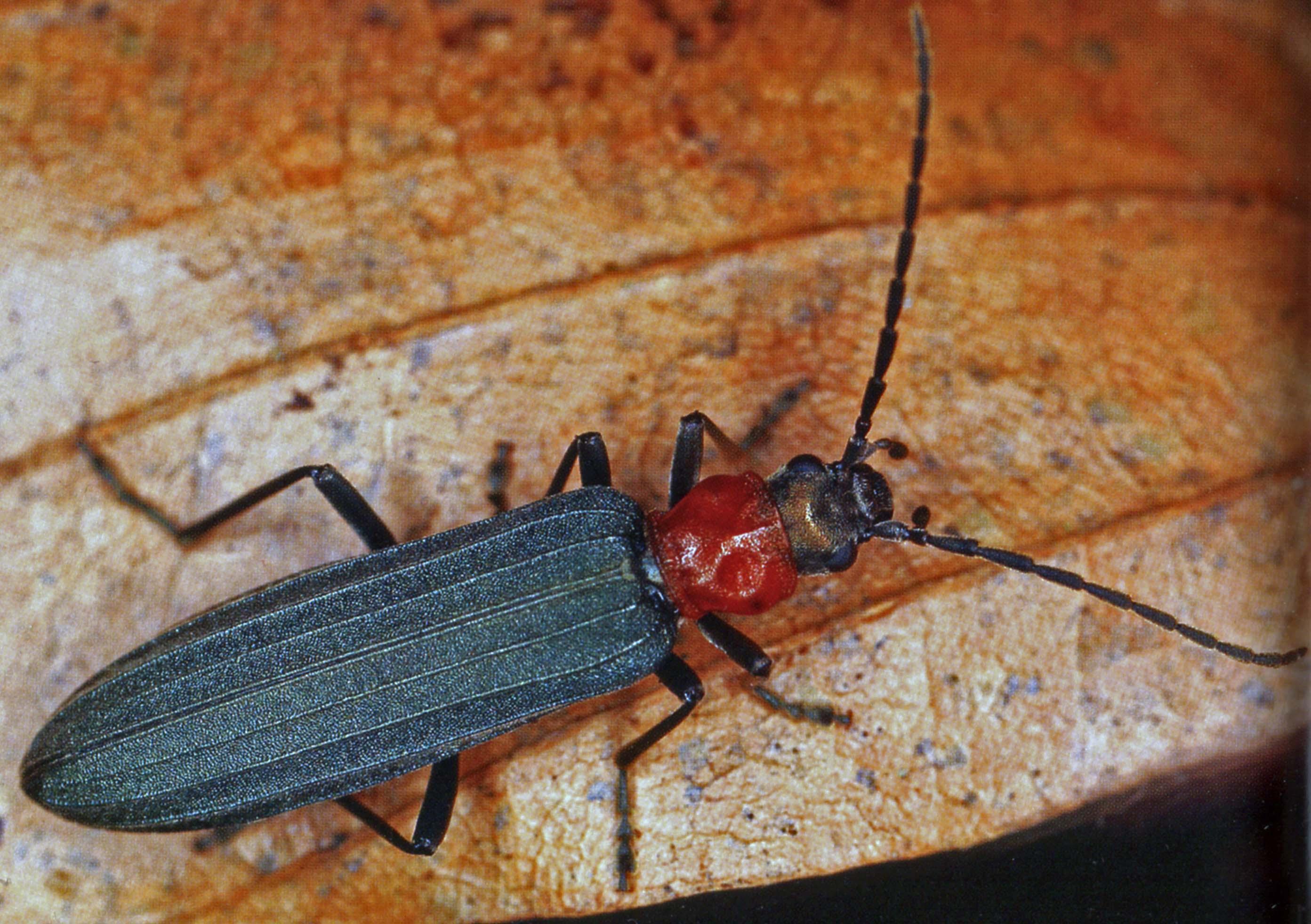 Bluthals-Scheinbockkäfer (Ischnomera sanguinicollis). © E. Wachmann