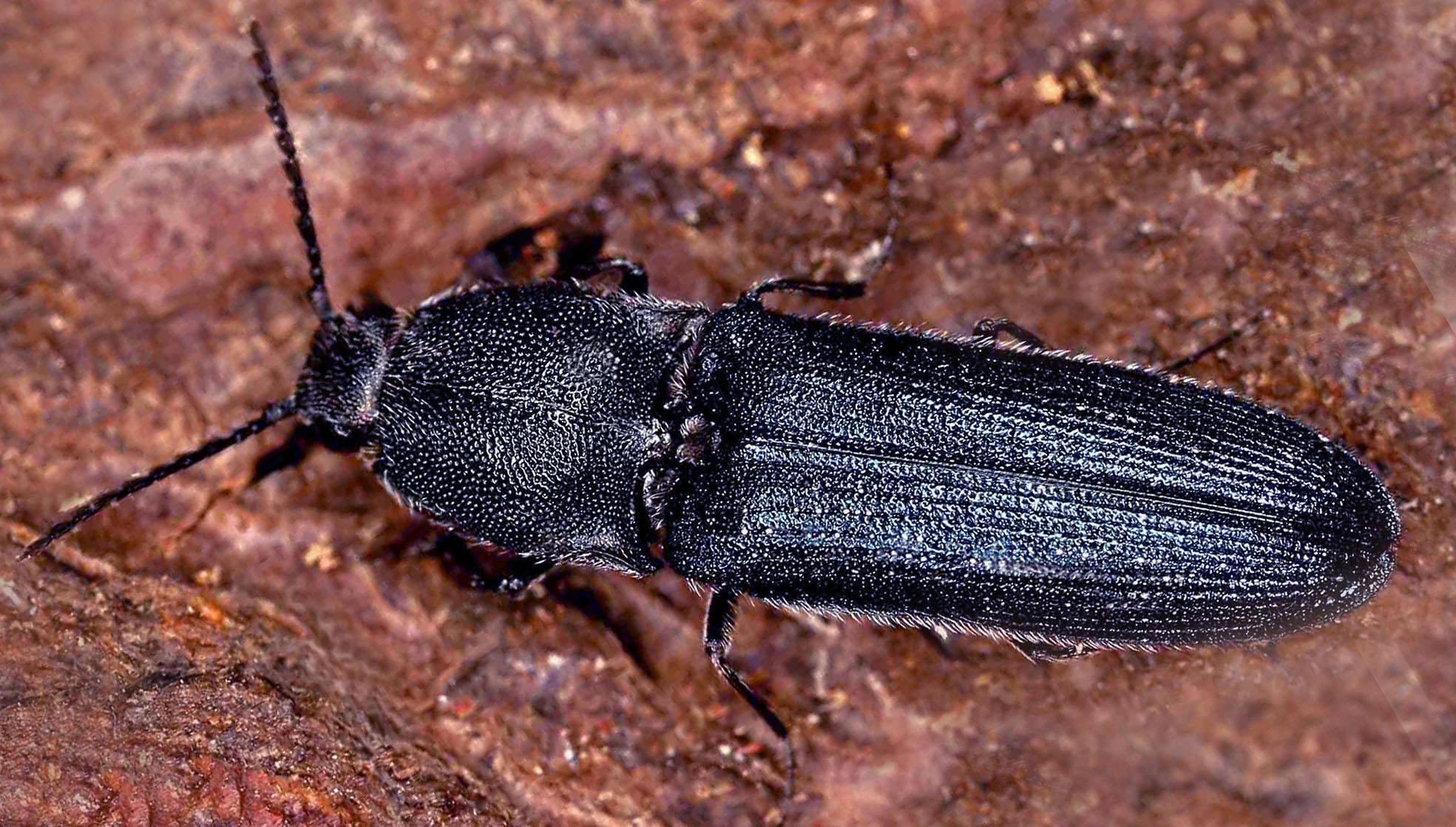 Veilchenblauer Wurzelhalsschnellkäfer (Limoniscus violaceus). © E. Wachmann