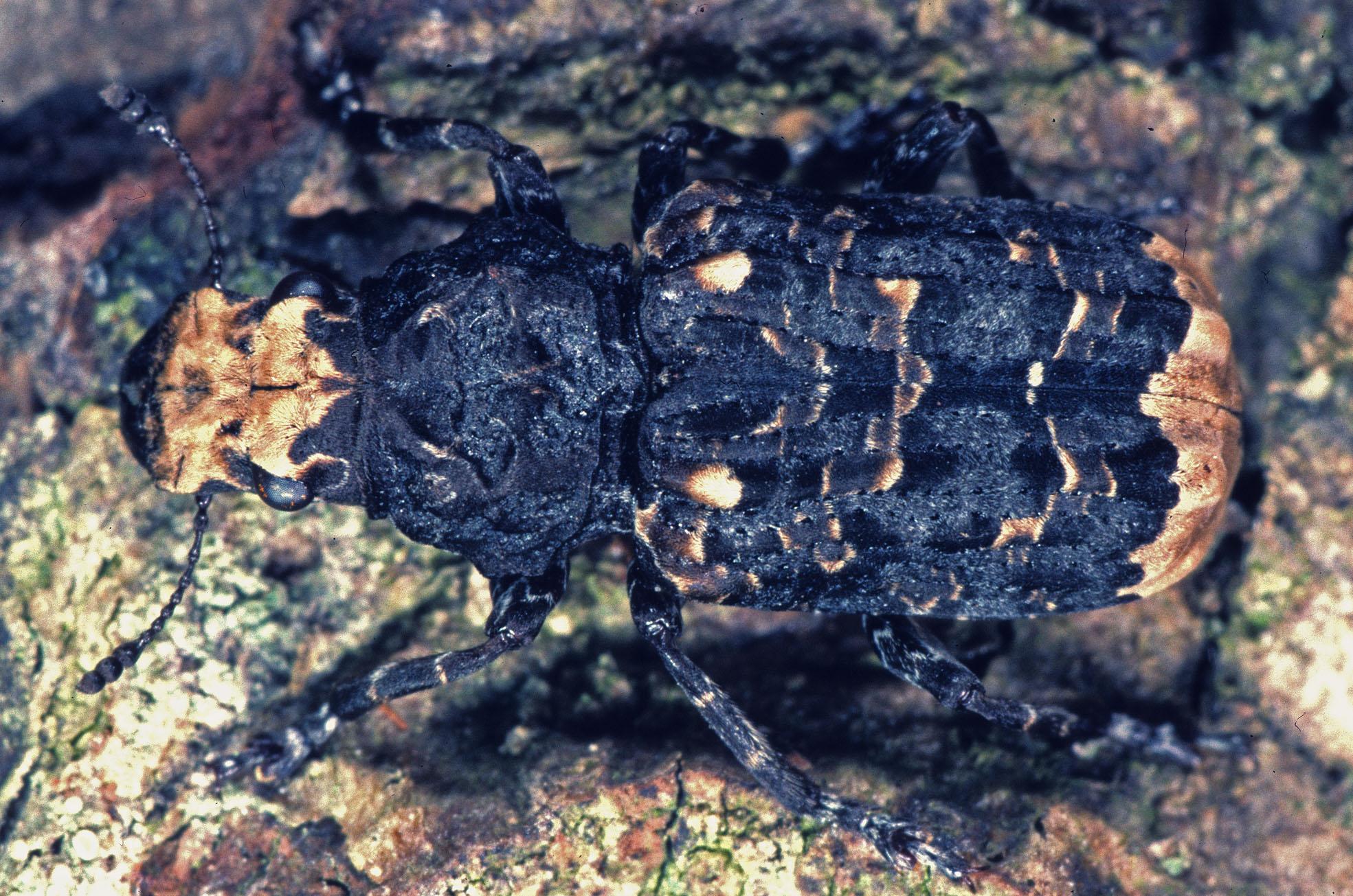 Großer Breitrüsselkäfer (Platyrrhinus resinosus). © G. C. Möller