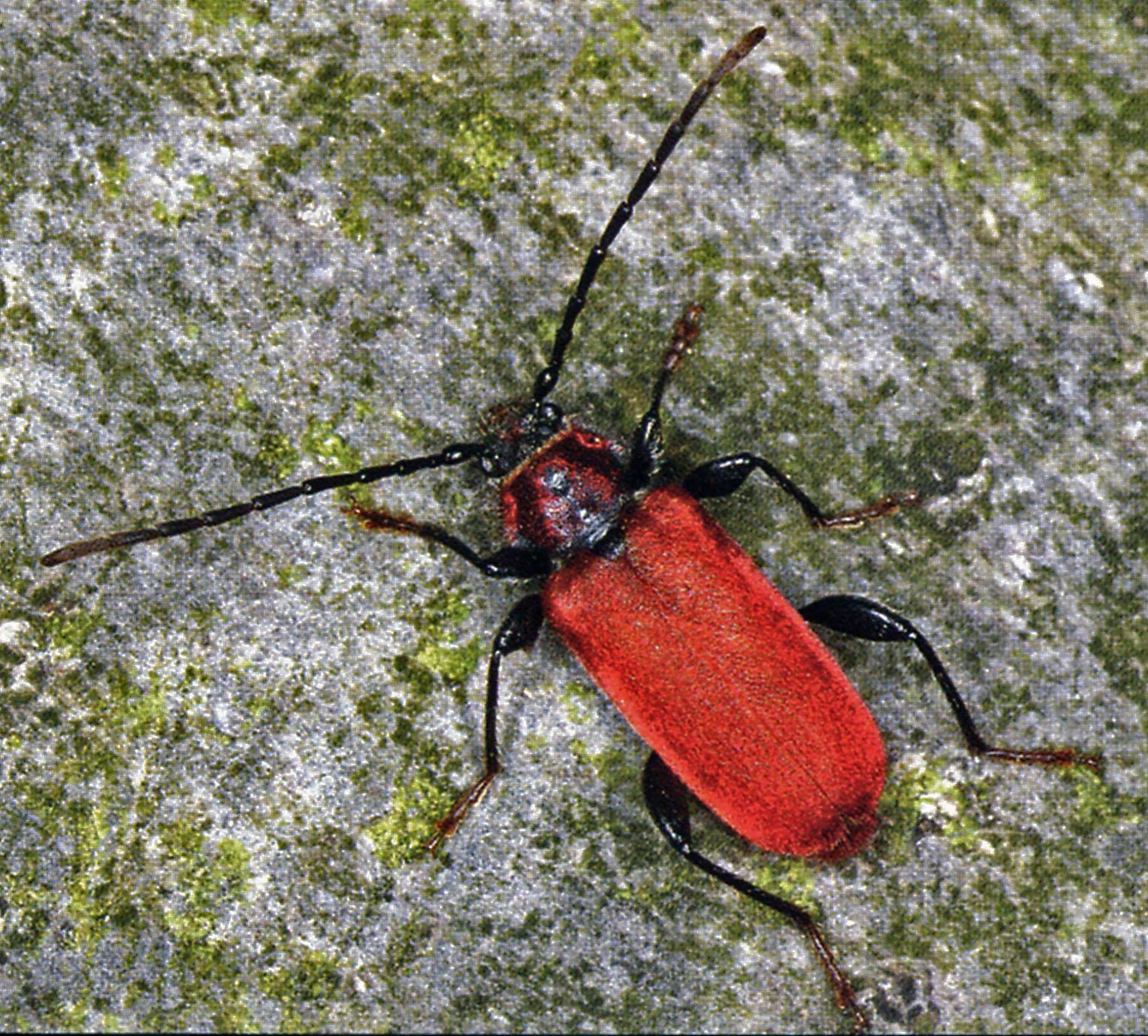 Roter Scheibenbock (Pyrrhidium sanguineum). © E. Wachmann