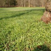 Frühjahrsaspekt mit Wald-Gelbstern (Gagea lutea) und Scharbockskraut (Ficaria verna) auf den Feuchtwiesen im Schlosspark Buch. © B. Seitz