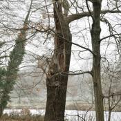 Gebrochene Alteiche mit bizarrer Krone - Lebensraum des seltenen Holzkäfers Eremit. © N. A. Klöhn