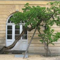 Alter und junger Maulbeerbaum am Neuen Pavillon © A. von Lührte