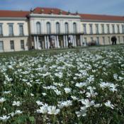 Artenreiche Scherrasen im Schlossgarten Charlottenburg, Blühaspekt mit Acker-Hornkraut. © M. von der Lippe