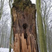 Zwieselabriss an Buche im Glienicker Park. © N. A. Klöhn