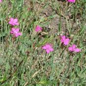 Die gefährdete Heide-Nelke ist im Glienicker Park regelmäßig anzutreffen. © B. Seitz