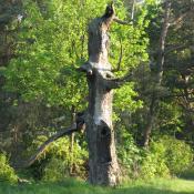 Stehender Totbaum auf der Pfaueninsel. © A. von Lührte