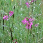 Die Pechnelke (Lychnis viscaria) wächst auf Magerwiesen basenreicher Standorte. © A. von Lührte