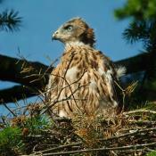 Junger Habicht auf dem Nest. © NABU Berlin