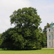 Historisches Ensemble: Alteiche am Belvedere, Schlossgarten Charlottenburg © N. A. Klöhn