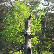 Diese abgestorbene Eiche auf der Pfaueninsel bietet einen malerischen Anblick und gleichzeitig einen wertvollen Lebensraum für zahlreiche Arten. © A. von Lührte